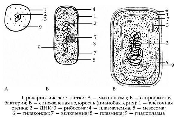 Что такое днк mycoplasma hominis