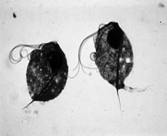 Цикл развития кишечной и мочеполовой трихомонады