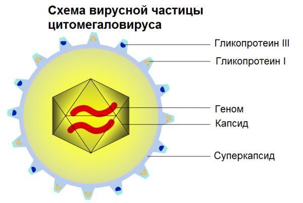 цитомегаловирус - что это
