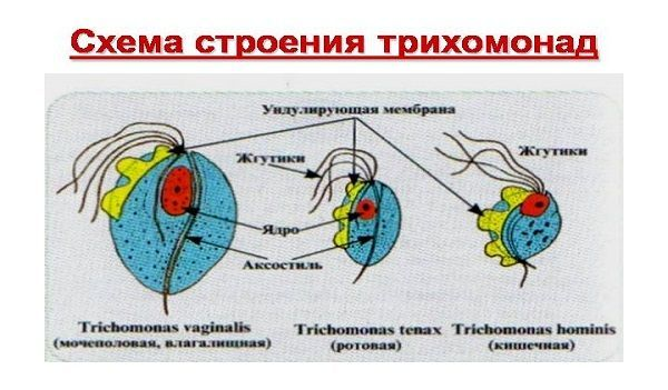 трихомониаз инкубационный период