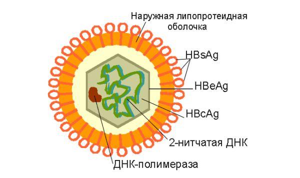 Положительный результат на антитела гепатита в