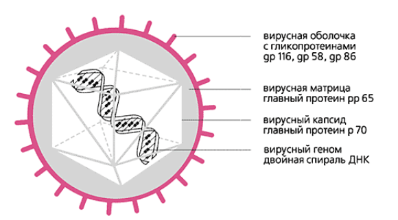 характеристика ЦМВ