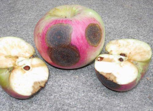 моча пахнет тухлыми яблоками