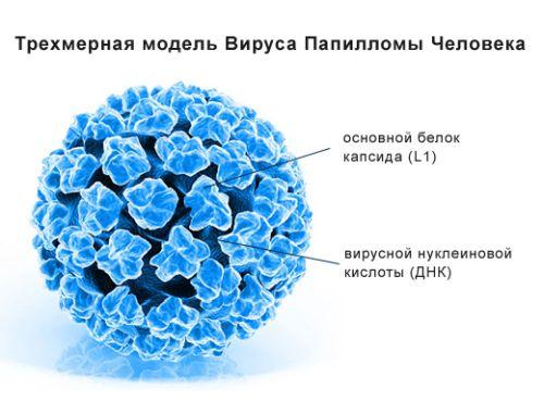 модель вируса папилломы человека