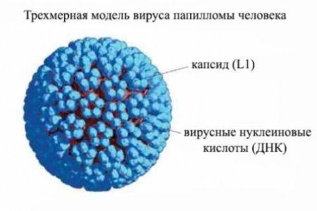 Вирус папилломы человека у женщин в гинекологии: что такое ВПЧ, симптомы и лечение